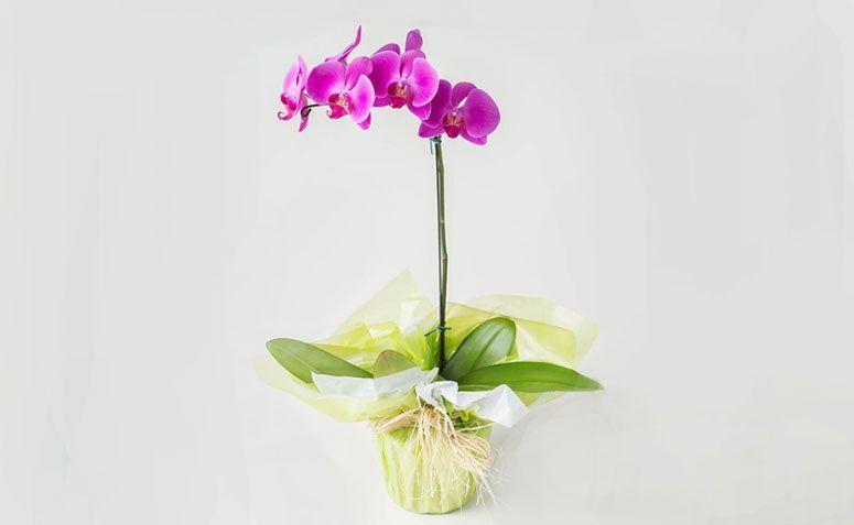 "Orquídea Phalaenopsis pink por R$ 169,90 na <a href=""http://www.isabelaflores.com/tipos-flores/orquideas/arranjos-com-orquideas/orquidea-phalaenopsis-pink.html"" target=""_blank""> Isabela Flores </a>"