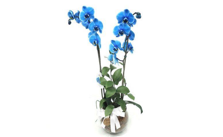 """Orquídea Azul por R$ 158,00 na <a href=""""https://www.operagarden.com.br/produto/7318/orquidea-azul"""" target=""""_blank"""">Ópera Garden</a>"""