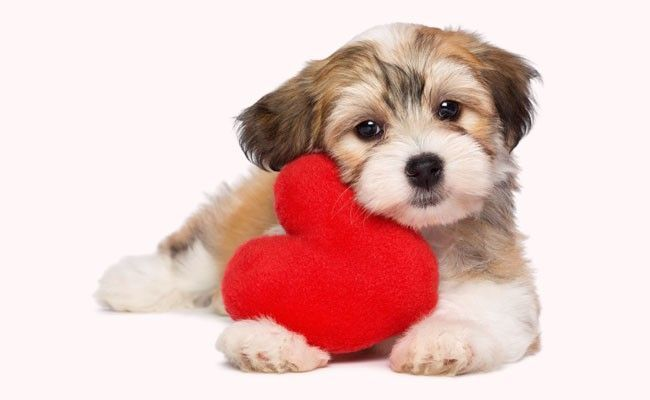 Pictures Of Cute Puppy Valentines Day Wallpaper Rock Cafe