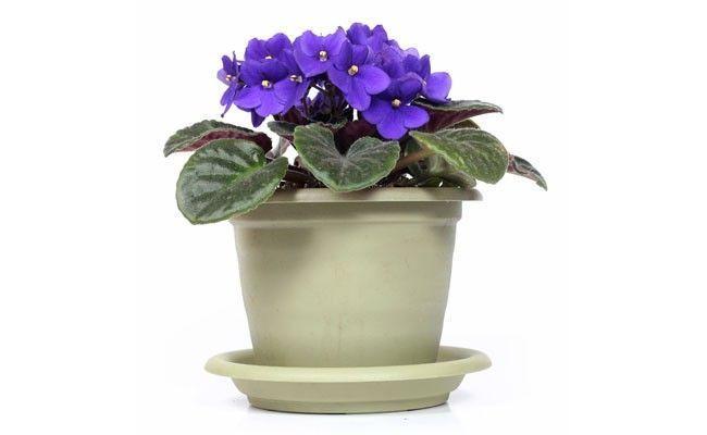 Violeta. Foto: Reprodução