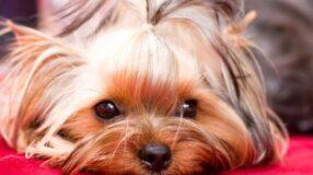 9 maneiras de evitar que seu cãozinho se perca ou seja roubado