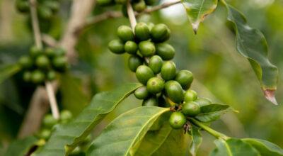Café verde: o que é, benefícios, cuidados e contraindicações
