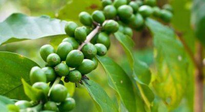 Café verde: mais um aliado para a sua dieta