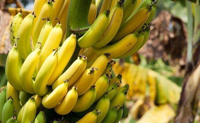banana Bananas: benefícios e dicas para adiantar ou retardar o amadurecimento