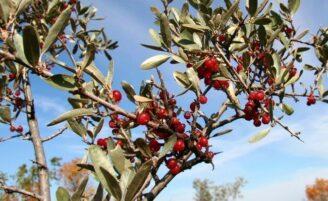 Buffaloberry: o novo superalimento?