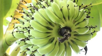 Tudo o que você precisa saber sobre a biomassa de banana verde