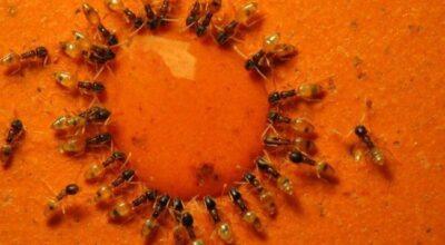 Guerra contra as formigas: soluções caseiras e dicas para exterminá-las