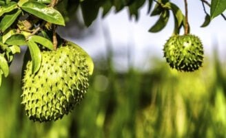 Graviola é aliada na prevenção e no tratamento de diversas doenças