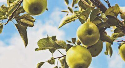 10 razões pelas quais deveríamos comer pera todos os dias