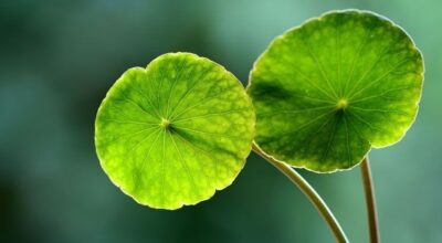 Centella asiática: conheça essa importante aliada para sua beleza e saúde