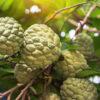 Pinha: conheça os poderes antioxidantes dessa fruta