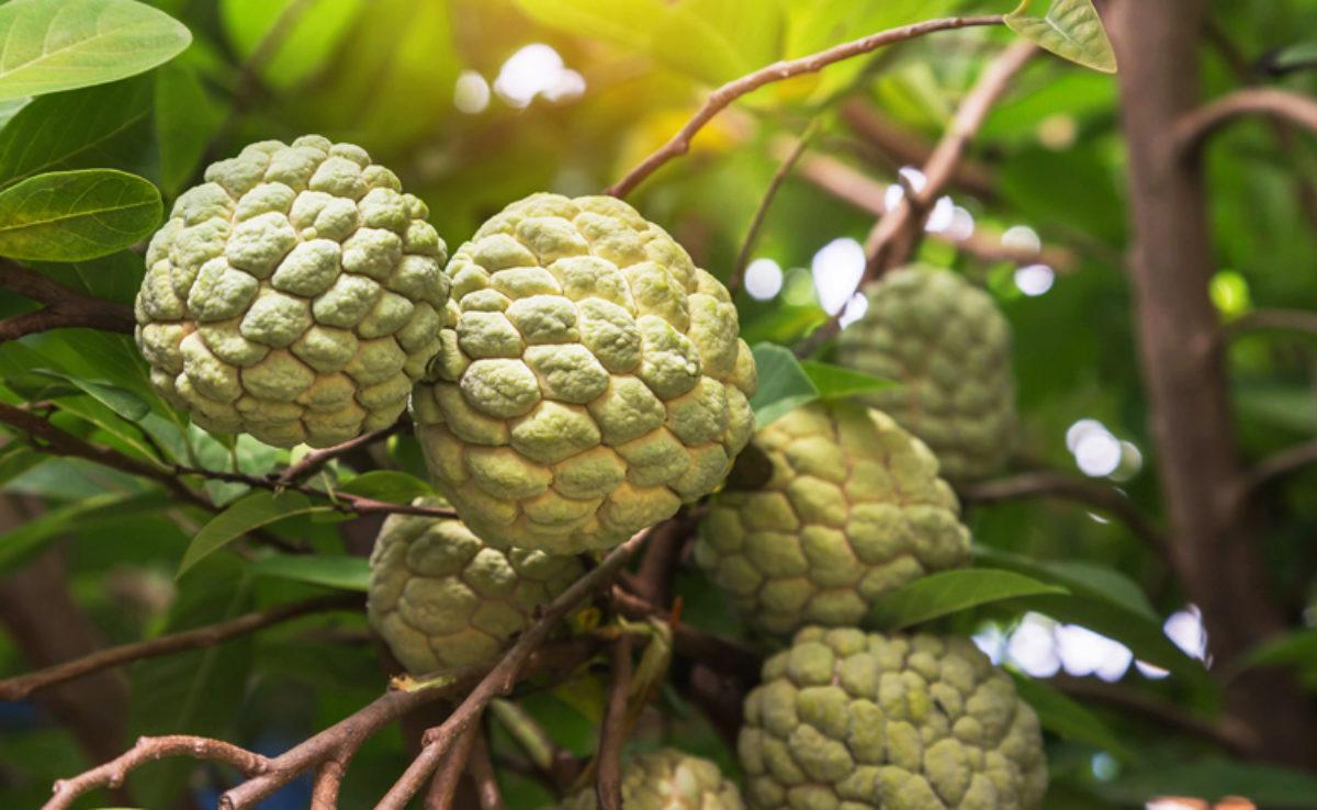 A Fruta Carambola Serve Para Que pinha: tipos, benefícios, e receitas incríveis com a fruta