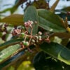 Canela-de-velho: médico youtuber fala sobre os benefícios dessa erva