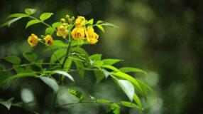 Chá de sene: conheça seus benefícios, efeito emagrecedor e contraindicações