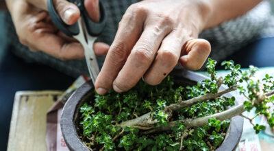 Como cuidar de um bonsai: 8 dicas básicas e fundamentais