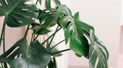 Costela de Adão: 80 fotos que provam a beleza e porque apostar na planta