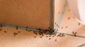 Veneno para formiga: 12 venenos caseiros para fazê-las sumir