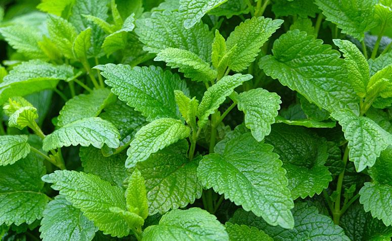 Erva-cidreira: 5 maiores benefícios, dúvidas e como preparar o chá