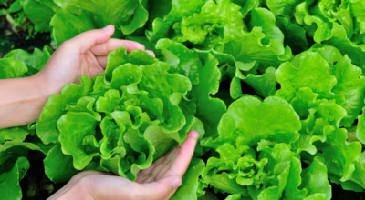 Conheça as propriedades nutricionais e principais benefícios da alface